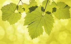 Обои листья, прожилки, виноград, боке