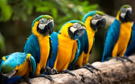 Обои птицы, природа, попугаи, Macaws