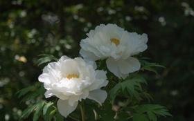 Обои листья, белые, куст, цветение, пионы, цветы