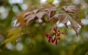 Картинка листья, капли, ветка, семена, после дождя, клен