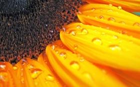 Обои Sunflower, Макро, Подсолнух, Роса