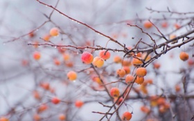 Обои природа, ветки, яблоки, яблоня, туман