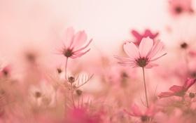 Обои трава, стебель, лепестки, розовый, поляна, цветок, космея