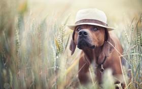 Обои поле, лето, друг, шляпа, пес