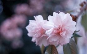 Картинка макро, цветы, природа, ветка, весна, лепестки, размытость