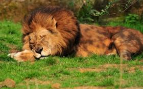 Картинка кошка, трава, отдых, сон, лев, спит