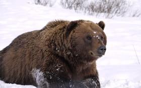 Обои взгляд, снег, отдых, Аляска, Медведь, наблюдение