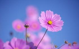 Обои природа, розовые, лето, космея, цветы
