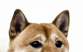 Обои взгляд, друг, собака, уши
