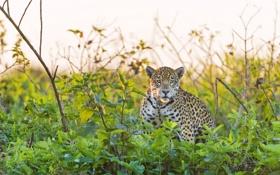Обои взгляд, хищник, ягуар, кустарник, panthera onca