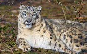 Картинка снежный барс, отдых, ирбис, ©Tambako The Jaguar, кошка