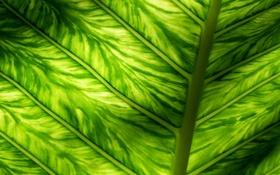 Обои фон, текстура, свет, зеленый, лист, макро, прожилки