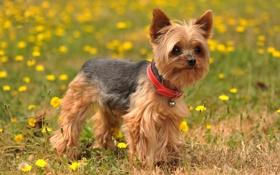Обои лето, природа, собака, Yorkshire Terrier
