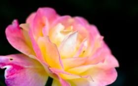Обои розовый, макро, Иризация