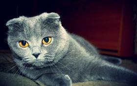 Обои котэ, кот, британец, вислоухий
