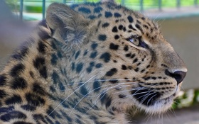 Картинка морда, отдых, хищник, пятна, леопард, профиль