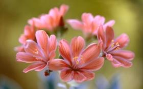 Обои цветы, лепестки, соцветие