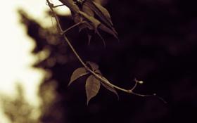 Обои Листья, зелень, виноград, лист, утро