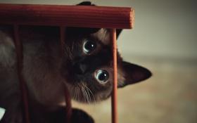 Картинка глаза, кот, голубые
