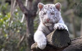 Обои отдых, лапы, малыш, мордочка, детёныш, котёнок, белый тигр