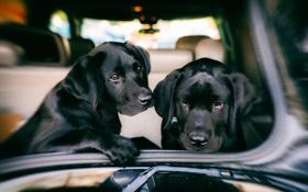 Обои машина, собаки, друзья
