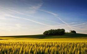 Картинка пшеница, поле, лето, небо, деревья, колосья