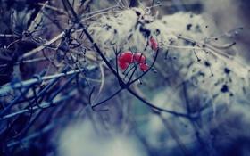 Обои ветки, природа, куст, красная, калина