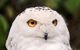 Картинка сова, белая, полярная