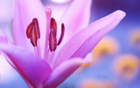 Обои цветок, лилия, макро