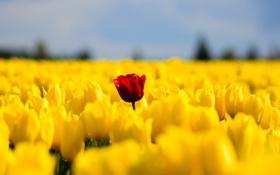 Картинка поле, цветы, весна, желтые, тюльпаны