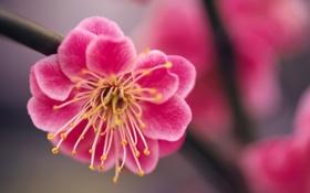 Обои розовый, цветок, весна, сакура, ветка, макро