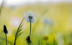 Обои поле, свет, природа, одуванчик