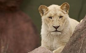 Картинка камни, лев, львица