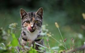 Картинка колоски, облизывается, кот, полоски, взгляд, усы