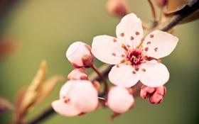 Обои цветок, макро, вишня, веточка, нежность, цвет, весна