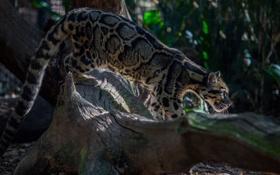 Картинка хищник, профиль, дикая кошка, дымчатый леопард