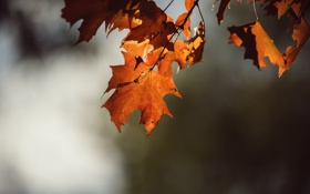 Обои листья, дерево, оранжевые, клен