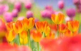 Обои сад, весна, луг, тюльпаны, лепестки