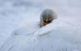 Обои крылья, нос, лебедь