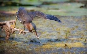 Обои птица, болото, рыбка, ветка, клюв