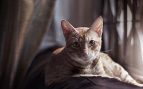 Обои полосатая, смотрит, серая, лежит, кошка