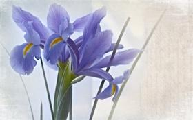 Картинка цветы, стиль, фон, текстура, ирисы, синие