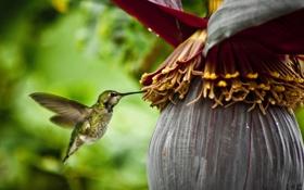 Обои цветок, колибри, плод, spring nectar
