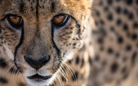 Обои морда, портрет, хищник, гепард, дикая кошка