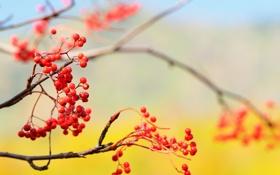 Обои природа, небо, ветка, ягоды