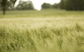 Обои поле, природа, растение, трава. зелень