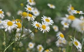 Картинка лето, трава, макро, цветы, природа, ромашки