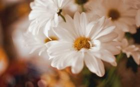 Обои цветы, лепестки, белые