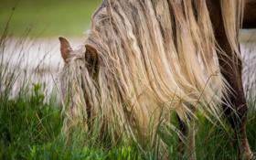 Обои лошадь, трава, конь, грива, пастбище