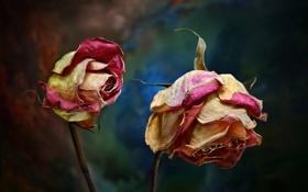 Обои природа, розы, цветы